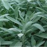 Random image: Градински чай  листа - Salvia officinalis