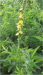 Камшик билка - Agrimonia eupatoria L.