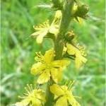 Камшик цвят - Agrimonia eupatoria L.
