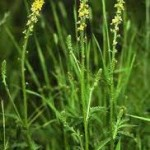Камшик - Agrimonia eupatoria L.