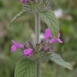 Котешка стъпка билка - Clinopodium Vulgare L