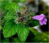 Котешка стъпка лист - Clinopodium Vulgare L