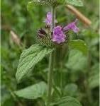 Котешка стъпка - Clinopodium Vulgare L