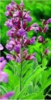 Лечебно растение Градински чай - Salvia officinalis