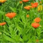 Лечебно растение Невен - Calendula Officinalis