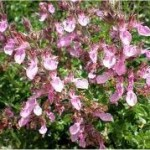 Random image: Лечебно растение Подъбиче червено - Teucrium chamaedrys L.