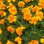 Лечебно растение Турта - Tagetes Erecta L.