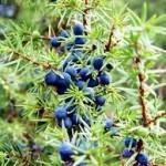 Random image: Лечебно растение Хвойна синя - Juniperus Communis L.