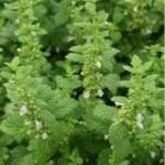 Маточина - лечебно растение - Melissa officinalis