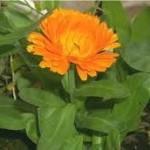 Невен листа - Calendula Officinalis