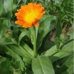 Невен стрък - Calendula Officinalis