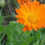 Random image: Невен цвят - Calendula Officinalis