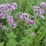 Random image: Риган билка - Origanum vulgare L.