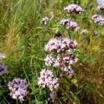 Риган в природата - Origanum vulgare L.
