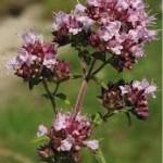 Random image: Риган цвят - Origanum vulgare L.