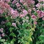 Риган - Origanum vulgare L.