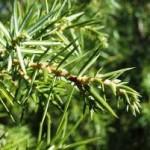 Хвойна синя листа - Juniperus Communis L.
