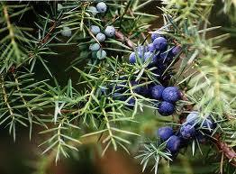 Хвойна синя плод - Juniperus Communis L.