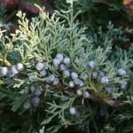 Хвойна синя - Juniperus Communis L.