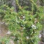 Random image: Храст Хвойна синя - Juniperus Communis L.