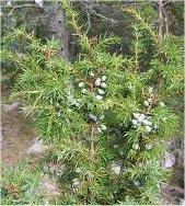 Храст Хвойна синя - Juniperus Communis L.