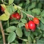 Random image: Шипка плод - Rosa canina