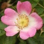 Шипка цвят- Rosa canina