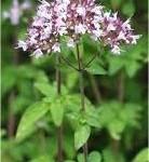 Random image: билка Риган стрък- Origanum vulgare L.