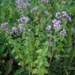 Random image: билка Риган - Origanum vulgare L.