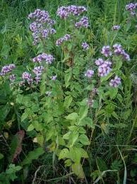 билка Риган - Origanum vulgare L.