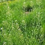 природа Овчарска торбичка - Capsella Bursa Pastoris