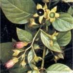 Беладона лечебно растение - Atropa belladonna