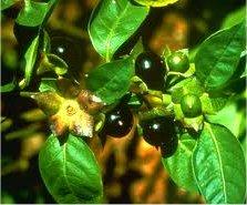 Беладона плод - Atropa belladonna