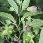Билка Беладона - Atropa belladonna