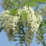 Random image: Билка Бяла акация - Robinia Pseudoacacia L.