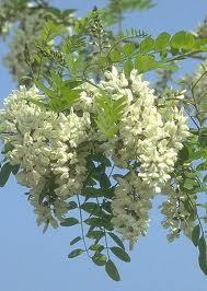 Билка Бяла акация - Robinia Pseudoacacia L.