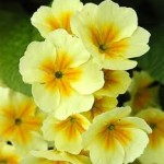 Random image: Билка Иглика - Primula