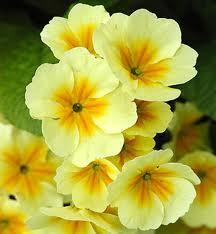 Билка Иглика - Primula