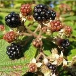 Билка Къпина - Rubus fruticosus L.