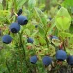 Random image: Билка Черна боровинка - Vaccinium myrtillus L