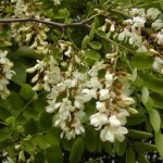 Random image: Бяла акация билка - Robinia Pseudoacacia L.