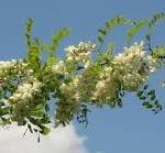 Random image: Бяла акация - Robinia Pseudoacacia L.