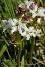 Водна детелина лечебно растение – Menyanthes trifoliata L.