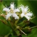 Водна детелина цвят – Menyanthes trifoliata L.