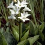Водна детелина – Menyanthes trifoliata L.