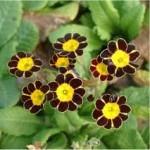 Random image: Иглика билка - Primula