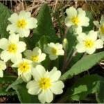 Иглика - Primula