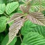 Къпина листа - Rubus fruticosus L.