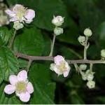 Къпина цвят- Rubus fruticosus L.