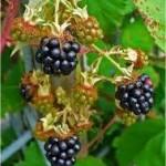 Къпина - Rubus fruticosus L.
